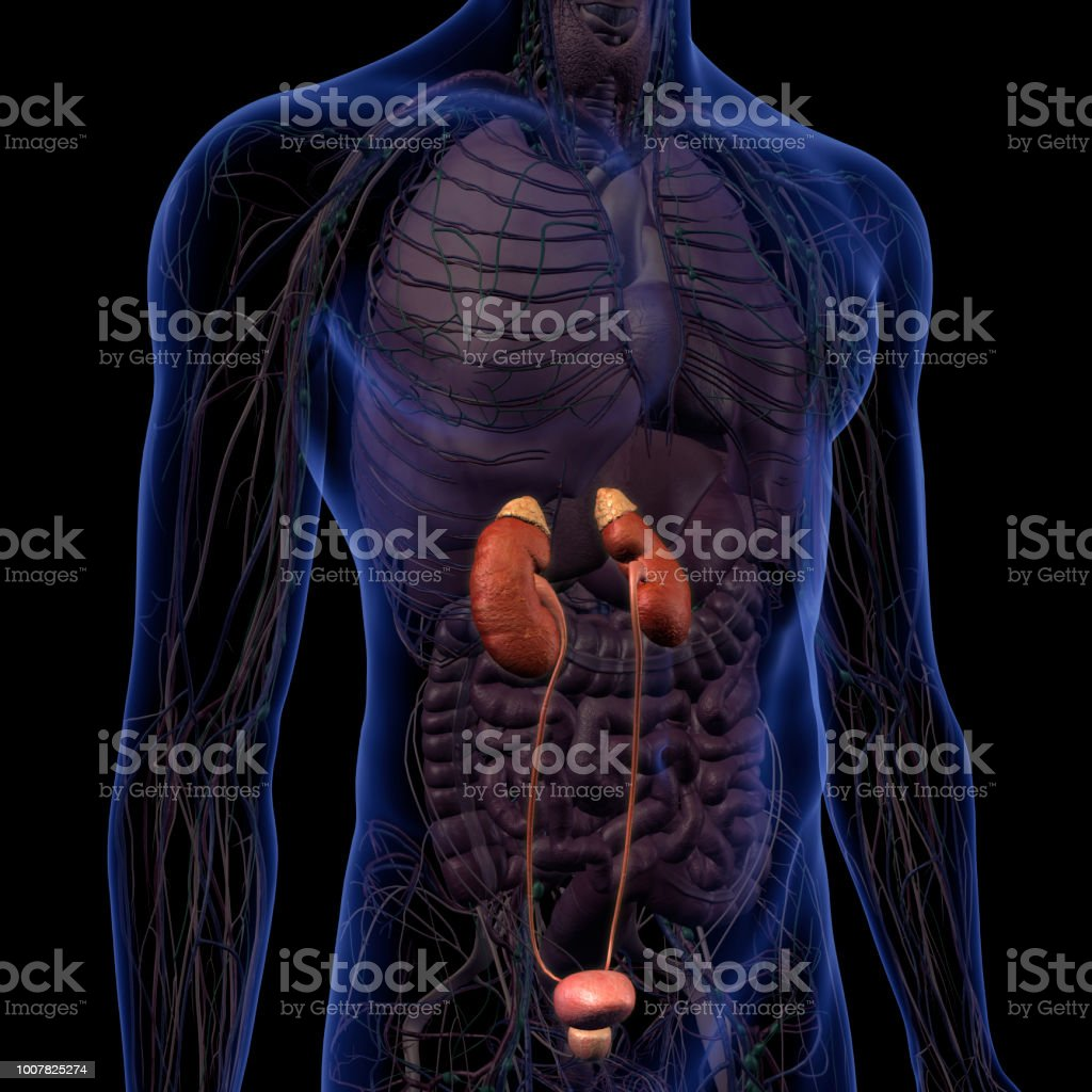 Kidneys Renal System And Male Abdominal Internal Anatomy Stock Photo ...