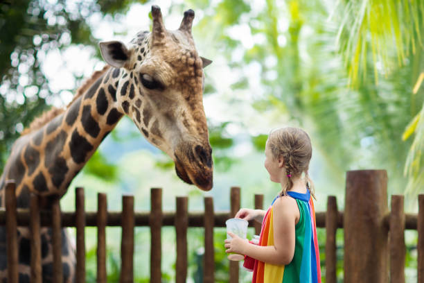 Kids feed giraffe at zoo. Children at safari park. Family feeding giraffe in zoo. Children feed giraffes in tropical safari park during summer vacation in Singapore. Kids watch animals. Little girl giving fruit to wild animal. zoo stock pictures, royalty-free photos & images