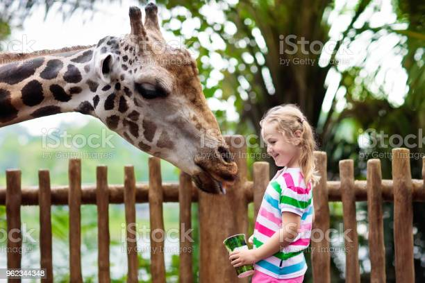 Kids feed giraffe at zoo children at safari park picture id962344348?b=1&k=6&m=962344348&s=612x612&h=evoqd2klphajhzh4uklcjsxos9gdt8lr1f3jb kr4k0=