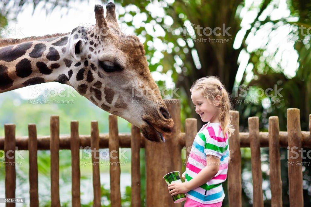 Kids feed giraffe at zoo. Children at safari park. stock photo