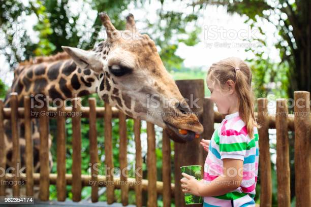 Kids feed giraffe at zoo children at safari park picture id962354174?b=1&k=6&m=962354174&s=612x612&h=ptr4eqdr2ppaeulwaznvy05qxf2wt6iq 7wpkxpw7eq=