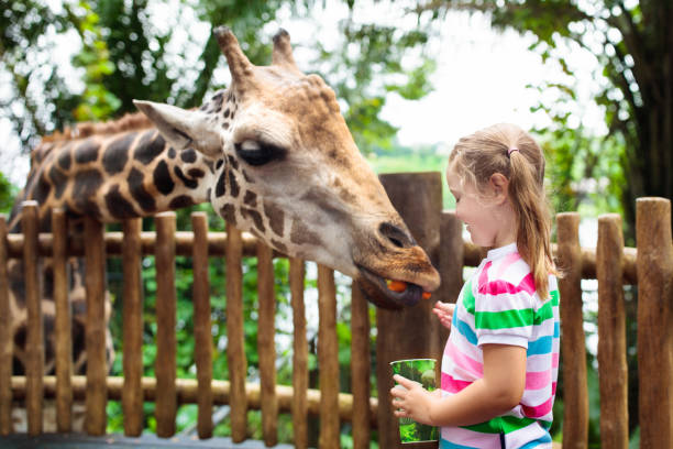 kids feed giraffe at zoo. children at safari park. - zoo stock pictures, royalty-free photos & images