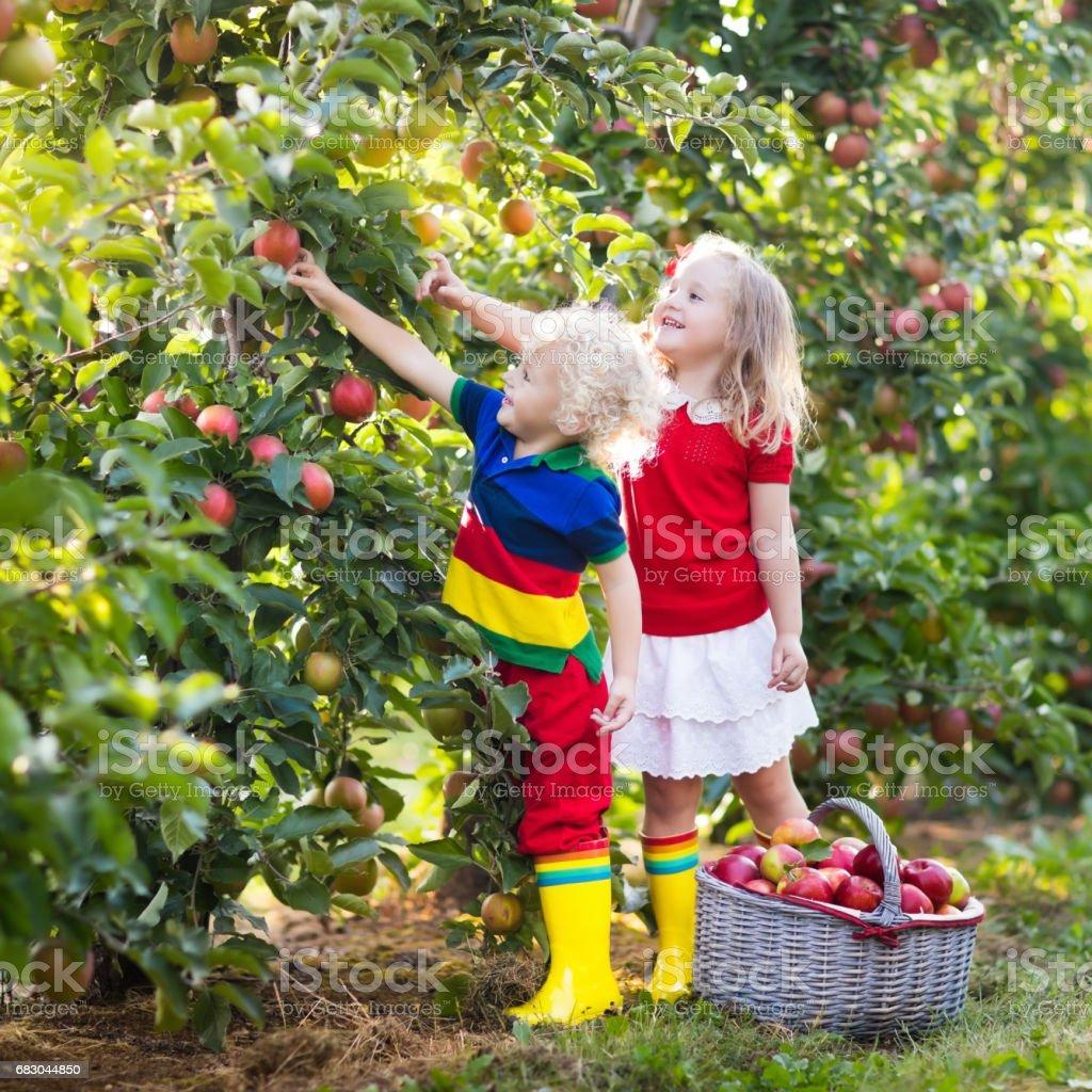 Kids picking apples in fruit garden foto de stock royalty-free