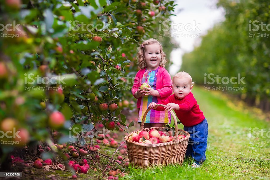Kids picking fresh apples from tree stock photo