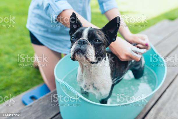 Kids wash boston terrier puppy in blue basin on the summer garden picture id1143517268?b=1&k=6&m=1143517268&s=612x612&h=myplx2zt0przeucuzs952j 1lgmnahcefwjp8slzv74=