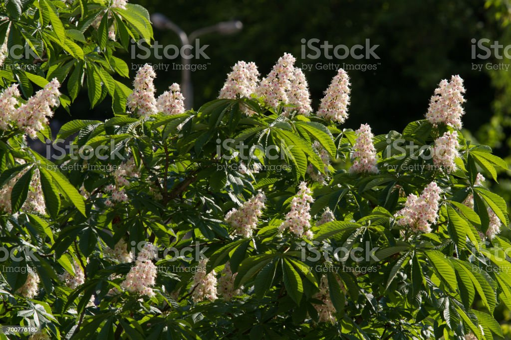 Kiev decorative chestnuts blossom in the spring with beautiful pyramidal flowers. stock photo