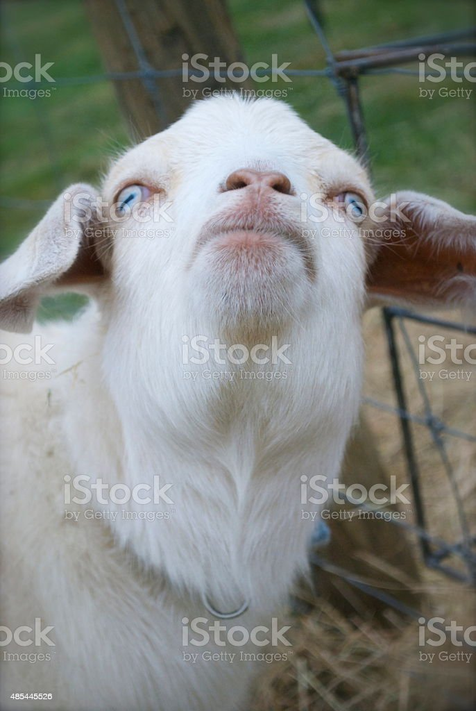 Kiko Goat Stock Photo - Download Image Now - iStock