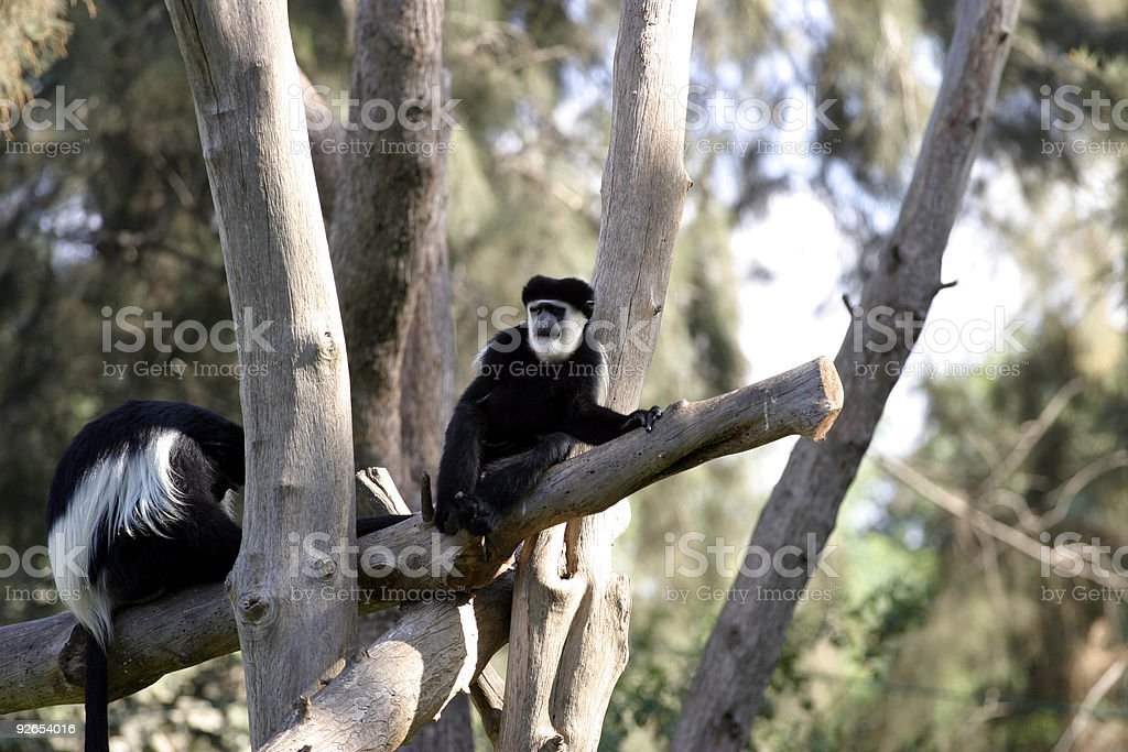 Kikuyu Colobus Monkey stock photo