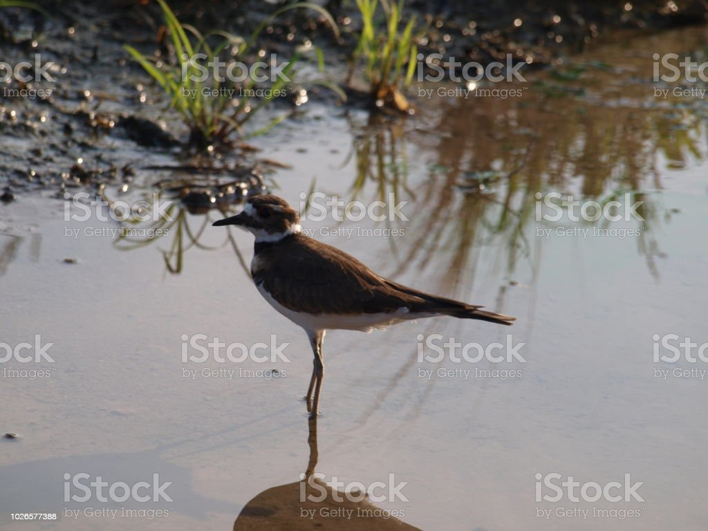 A Kildeer Cools Off In A Spriklet Runoff stock photo