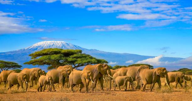 Kilimanjaro Tanzania African Elephants Safari Kenya Herd of african elephants on a safari trip to Kenya and a snow capped Kilimanjaro mountain in Tanzania in the background, under cloudy blue skies. tanzania stock pictures, royalty-free photos & images