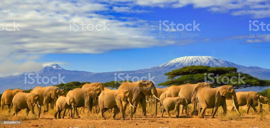 Kilimanjaro Tanzania African Elephants Safari Kenya stock photo