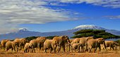 A herd of african elephants in kenya with mount kilimanjaro in the backgound.