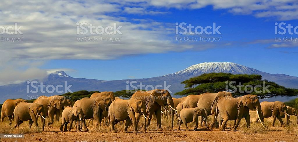 Kilimanjaro With Elephants stock photo