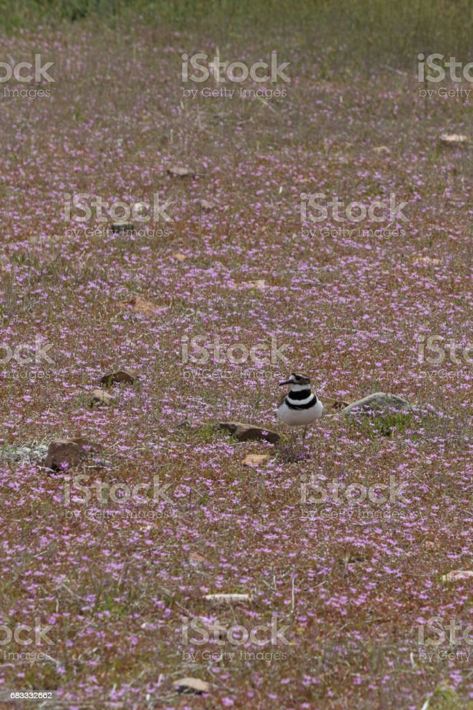 Killdeer and nest in field of purple flowers foto stock royalty-free