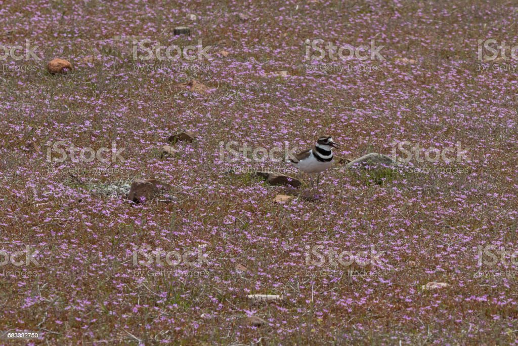 Killdeer and nest in field of purple flowers royalty-free stock photo