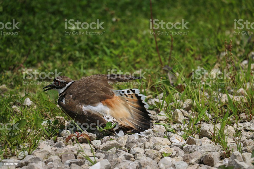 Killdeer Bird Faking an Injury stock photo