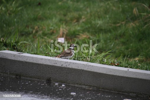 A killdeer standing in the grass next to a curb and a parking lot