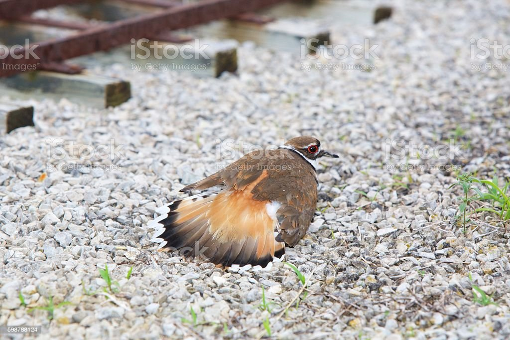 Killdeer feigning an injury. stock photo