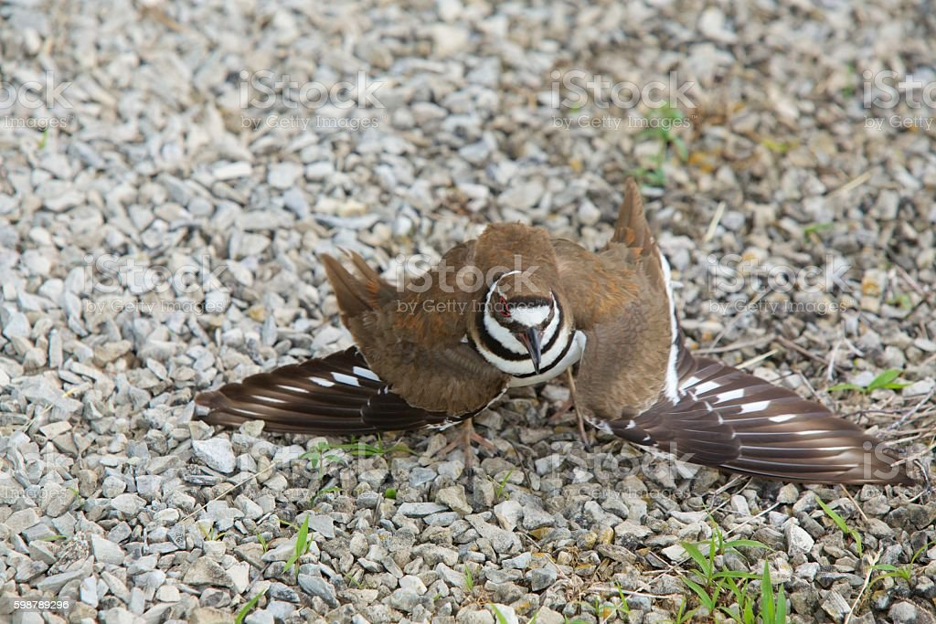 Killdeer feigning broken wings. stock photo