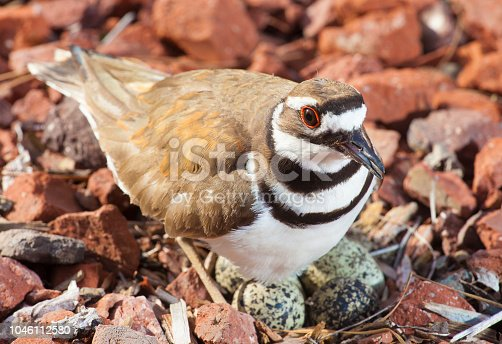 Bird standing over its nest and eggs on a nest in stones