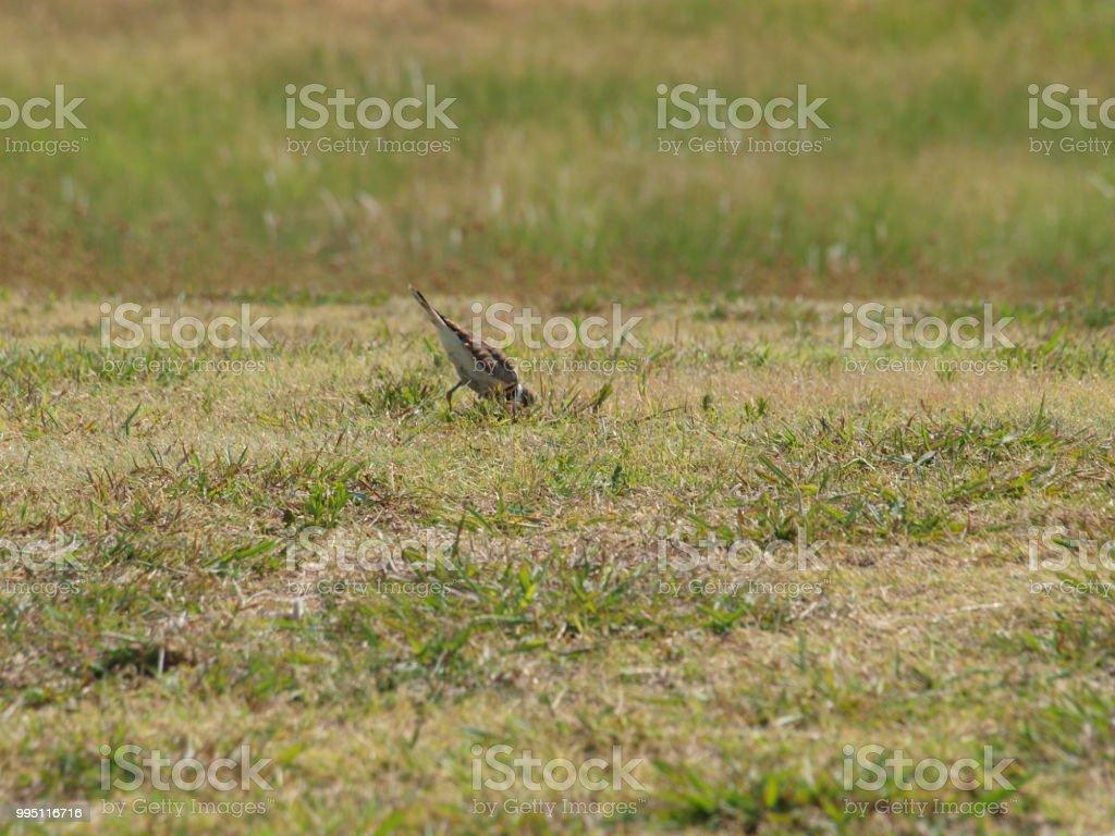 Killdeer Shorebird Bobbs In Grass Roots stock photo