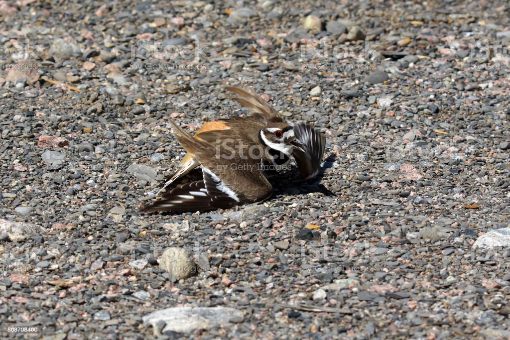 Killdeer shorebird closeup stock photo
