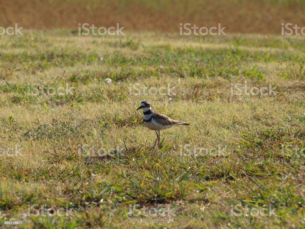 Killdeer Shorebird Looking For Food stock photo