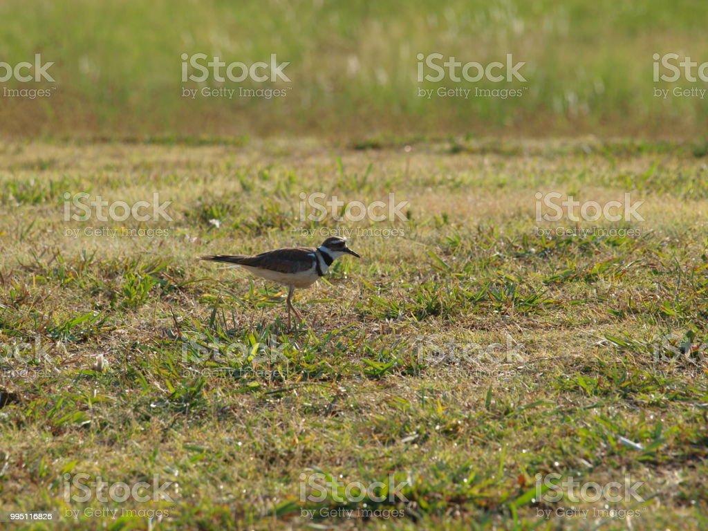 Killdeer Shorebird Seen at DFW International stock photo