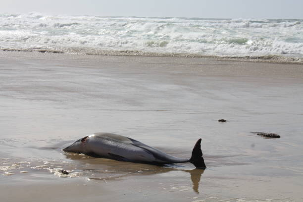Killed Dolphin Dolphin washed up on the beach of Biscarrosse. Killed in the nets of fishing boats in the Bay of Biscay. mass murder stock pictures, royalty-free photos & images