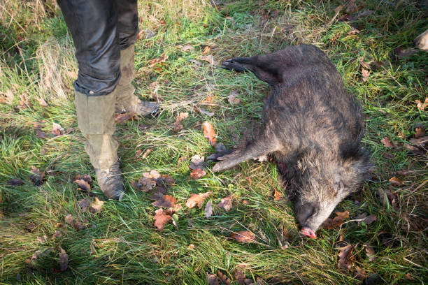 Killed wild boar in the forest with hunter Hunter with his prey poaching animal welfare stock pictures, royalty-free photos & images
