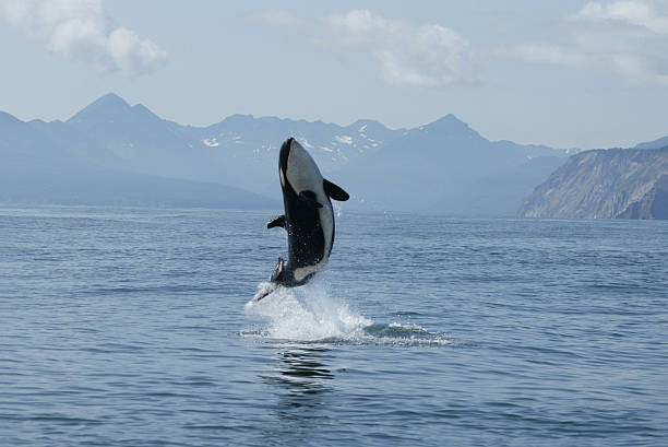 killer whale calf jumping stock photo