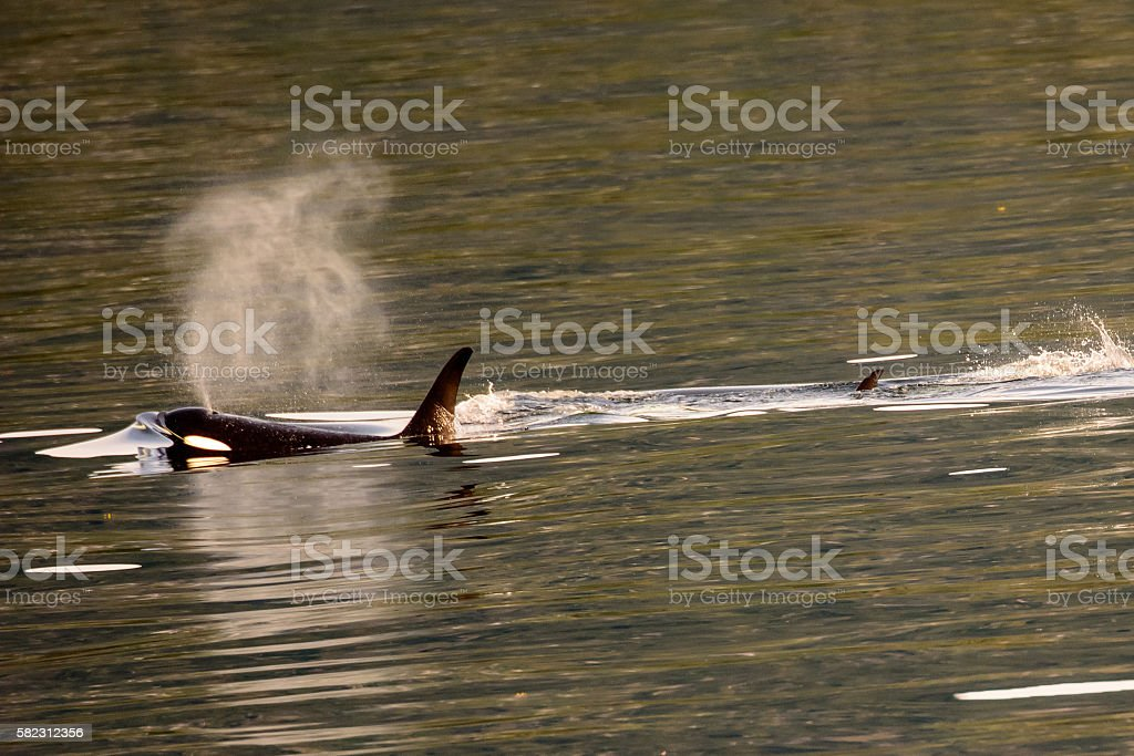Killer whale exhaling from its blow hole stock photo