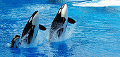 Killer Whale Family Jumping Out of Water