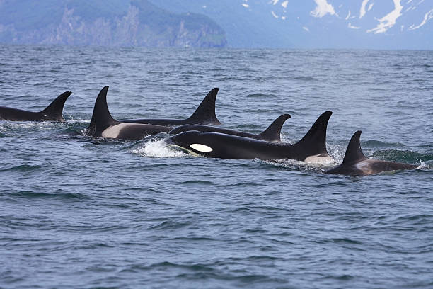 Killer whale group in the wild stock photo