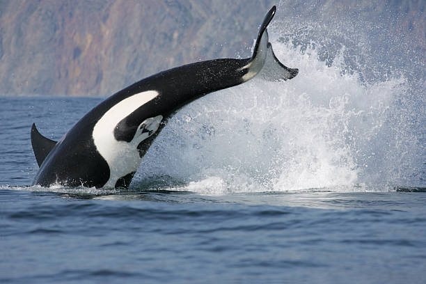 killer whale hunting stock photo