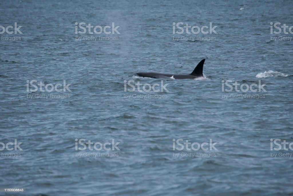Pod of transient killer whales in Strait of Georgia, near Saturna...