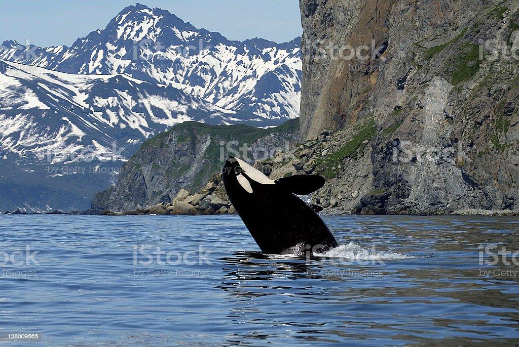 killer whale in wild stock photo