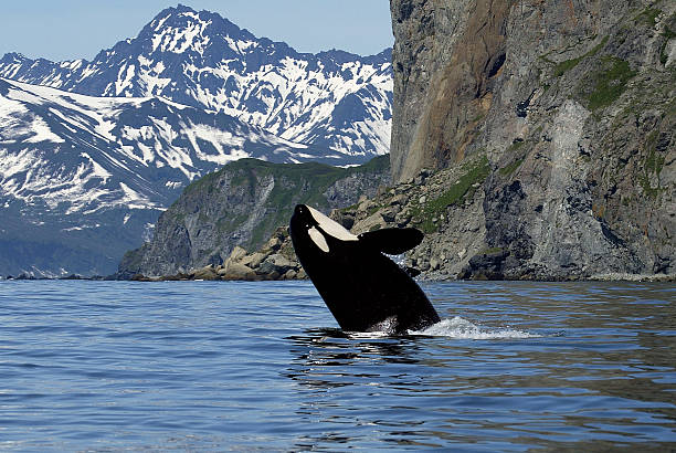 killer whale in wild killer whale in wild kamchatka peninsula stock pictures, royalty-free photos & images