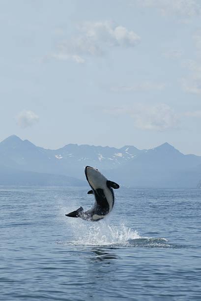 killer whale joy stock photo
