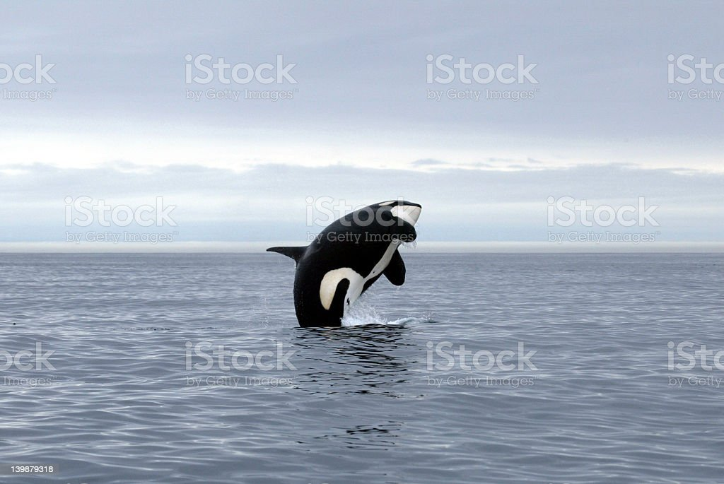 A killer whale jumping out of the ocean stock photo