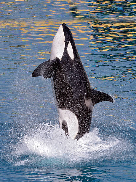 Royalty Free Orca Pict...