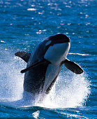 Killer Whale (Orca) Leaping Out Of The Water