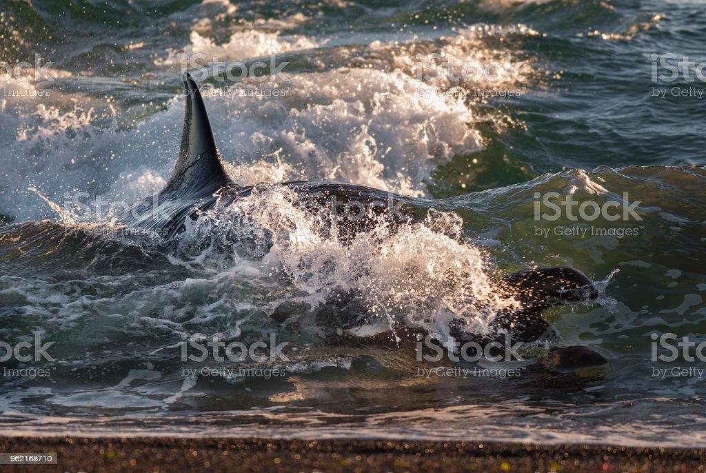 Killer whale , Patagonia stock photo