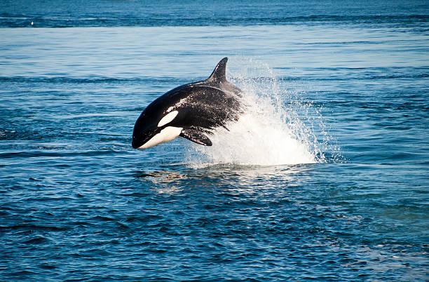 orca - fauna selvatica foto e immagini stock