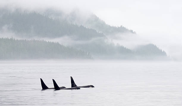 Killer Whale Pod in Misty Bay Killer Whales (Orca) british columbia stock pictures, royalty-free photos & images