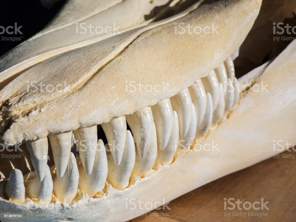 Killer Whale Skull Stock Photo & More Pictures of Anatomy | iStock