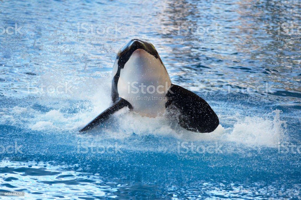Killer whale splashing on the water stock photo