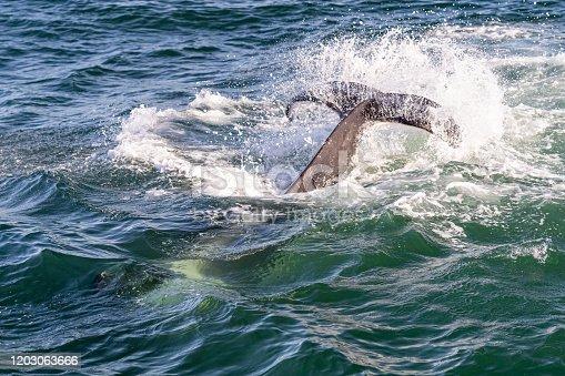 Orca Whales - Killer Whales tail slapping in Monterey Bay outside of Santa Cruz, California