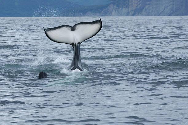 killer whale tail stock photo