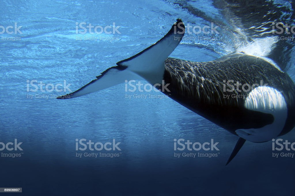 Killer whale underwater royalty-free stock photo